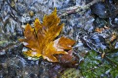 foglia di acero su acqua Fotografia Stock