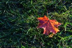 Foglia di acero su erba e su luce solare Fotografie Stock Libere da Diritti