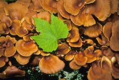 Foglia di acero sui funghi fotografie stock libere da diritti