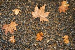 Foglia di acero sul pavimento nella pioggia del giorno Immagini Stock Libere da Diritti