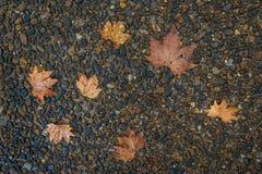 Foglia di acero sul pavimento nella pioggia del giorno Fotografia Stock