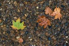 Foglia di acero sul pavimento nella pioggia del giorno Immagine Stock Libera da Diritti
