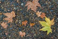 Foglia di acero sul pavimento nella pioggia del giorno Fotografia Stock Libera da Diritti