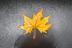 Foglia di acero sul pavimento nella pioggia del giorno isolato Immagine Stock Libera da Diritti