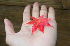 Foglia di acero sulla mano Fotografia Stock