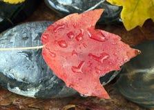 Foglia di acero sulla roccia Fotografia Stock