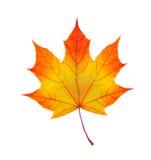 Foglia di acero variopinta di autunno isolata su bianco Immagine Stock Libera da Diritti