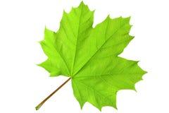 Foglia di acero verde Immagini Stock
