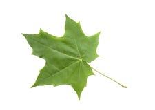Foglia di acero verde fotografie stock