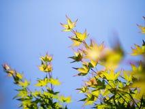 Foglia di acero verde con cielo blu Fotografia Stock Libera da Diritti