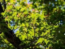Foglia di acero verde con il giorno soleggiato Immagine Stock Libera da Diritti