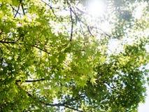 Foglia di acero verde con il giorno soleggiato Fotografia Stock Libera da Diritti