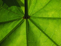 Foglia di acero verde meravigliosa Fotografie Stock Libere da Diritti