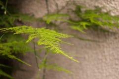 Foglia di asparagus setaceus Immagini Stock