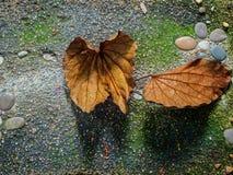 Foglia di aureifolia di Bauhinia asciutta Immagine Stock