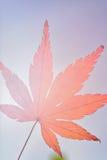 Foglia di Autumn Maple del giapponese contro sole Fotografia Stock Libera da Diritti