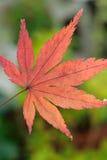 Foglia di Autumn Maple del giapponese isolata contro il fondo verde del giardino Fotografia Stock Libera da Diritti