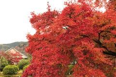 Foglia di autunno di Arashiyama Fotografia Stock Libera da Diritti