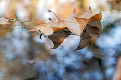 Foglia di autunno che galleggia sull'acqua Fotografia Stock