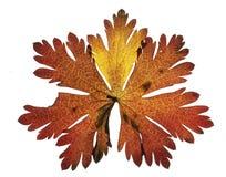 Foglia di autunno con sette segmenti Fotografia Stock Libera da Diritti