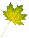 Foglia di autunno dell'acero isolata su bianco Fotografia Stock Libera da Diritti