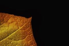Foglia di autunno, macro Fotografie Stock Libere da Diritti