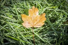 Foglia di autunno sopra erba nella foresta Fotografia Stock Libera da Diritti