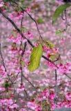 Foglia di autunno su Sakura sbocciante Fotografia Stock Libera da Diritti