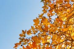 Foglia di autunno, vecchie foglie di acero arancio, fogliame asciutto degli alberi, fuoco molle, stagione di autunno, un cambiame immagini stock