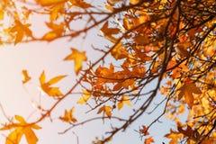 Foglia di autunno, vecchie foglie di acero arancio, fogliame asciutto degli alberi, fuoco molle, stagione di autunno, un cambiame Fotografie Stock Libere da Diritti