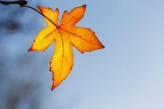 Foglia di autunno, vecchie foglie di acero arancio, fogliame asciutto degli alberi, fuoco molle, stagione di autunno, un cambiame fotografia stock libera da diritti
