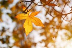 Foglia di autunno, vecchie foglie di acero arancio, fogliame asciutto degli alberi, fuoco molle, stagione di autunno, un cambiame immagine stock