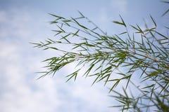 Foglia di bambù Immagini Stock Libere da Diritti
