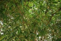 Foglia di bambù Immagini Stock