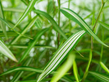 Foglia di bambù Immagine Stock