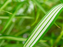 Foglia di bambù Fotografia Stock