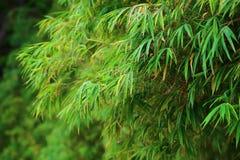 Foglia di bambù cinese Fotografia Stock Libera da Diritti