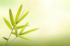 Foglia di bambù verde e fondo verde chiaro molle Fotografie Stock
