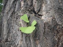 Foglia di biloba del Gingko fotografie stock libere da diritti
