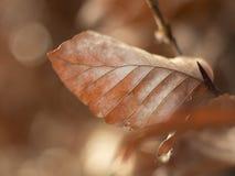 Foglia di Brown su un albero di faggio Fotografie Stock