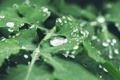 Foglia di celandine con le gocce di pioggia Fine in su fotografie stock libere da diritti