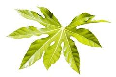 Foglia di fatsia japonica Fotografia Stock