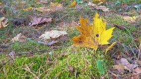 Foglia di giallo dell'acero di autunno sulla terra archivi video