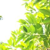 Foglia di Gree Fotografia Stock