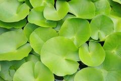 Foglia di Lotus Fotografie Stock Libere da Diritti