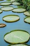 Foglia di Lotus. 1 Fotografie Stock Libere da Diritti