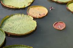 Foglia di Lotus nello stagno Fotografia Stock Libera da Diritti