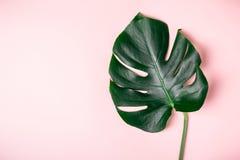 Foglia di Monstera su un fondo rosa Fondo minimalistic esotico di estate Immagine Stock