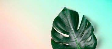 Foglia di Monstera sul fondo pastello di pendenza Fondo minimalistic esotico di estate Fotografia Stock