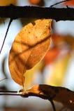 Foglia di oro singolare in autunno nelle montagne di adirondack immagine stock libera da diritti